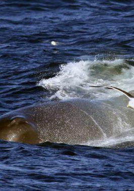 Cachalote – Sperm whale
