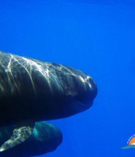 Calderón tropical – short-finned pilot whale