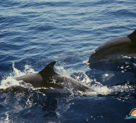 Delfín moteado Atlántico – Atlantic spotted dolphin