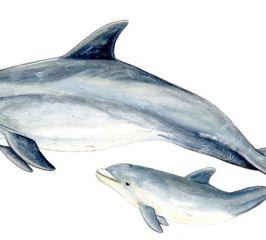 Delfín mular- Bottlenose dolphin