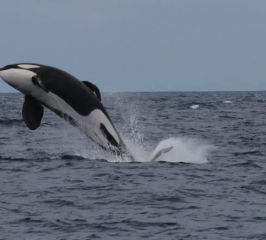 Orca- Killer whale