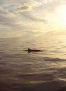 Zifio de Blainville- Blainville`s beaked whale