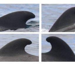 Catálogos de PhotoID de cetáceos de Canarias