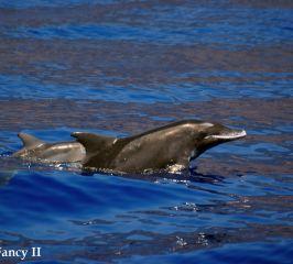 Delfín de dientes rugosos – Rough-toothed dolphin