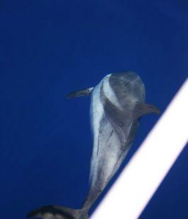 Delfín listado – striped dolphin