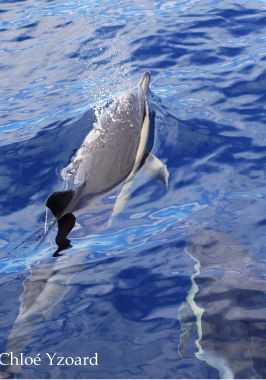 Delfín común- Common dolphin