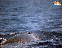 Rorcual norteño- sei whale