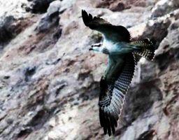 Observando águilas pescadoras