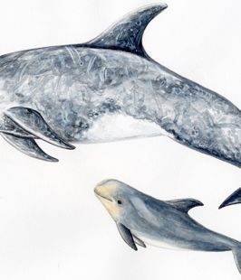 Calderón gris- Risso´s dolphin